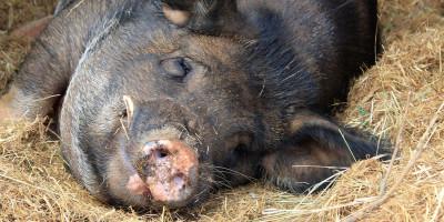 Pig Animal Pigsty Sty Hay Boar  - Beesmurf / Pixabay