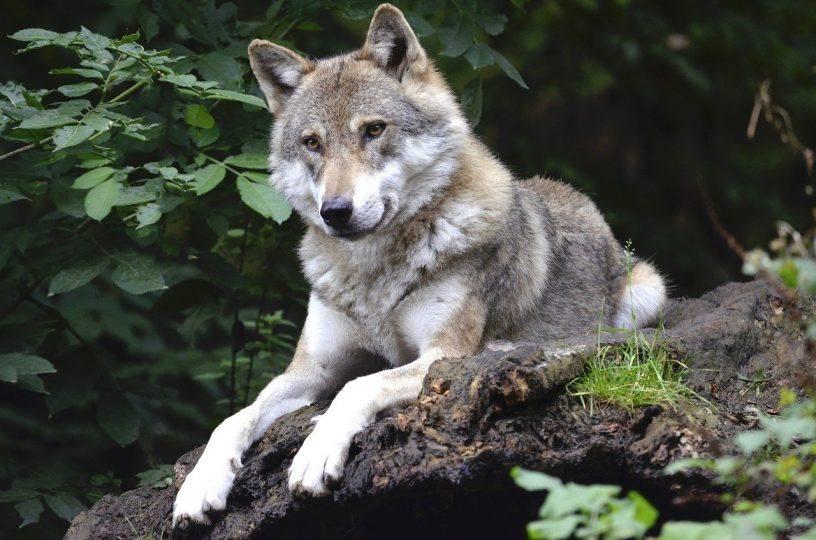 Wolf im Nationalpark Hunsrück-Hochwald nachgewiesen