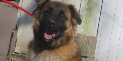 Körbchen gesucht: Schäferhund Jakob