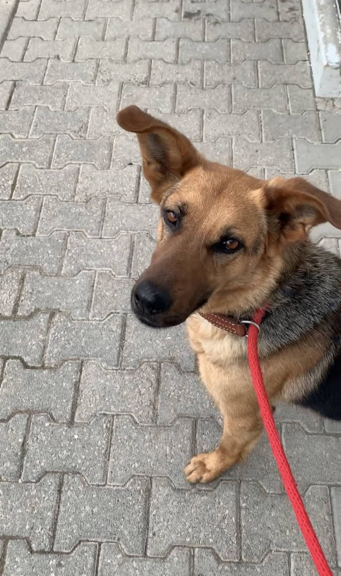 Schäferhund-Mix Ella